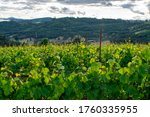 Looking Over Grapevines In An...
