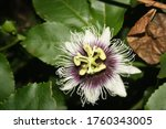 Passion Flower At Night  Photo...