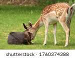 A Beautiful Fallow Deer. ...