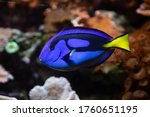 Pacific Blue Tang Fish  ...