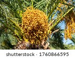 Bunches Of Ripening Dates On ...