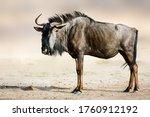 Blue Wildebeest  Gnu  Side...