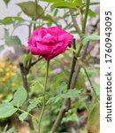 Bonica_rose  A Very Pretty  Ye...