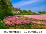 Pink tulip flowers farm field...