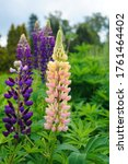 Blooming Colorful Lupine...