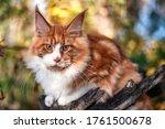 A Big Maine Coon Kitten Sitting ...
