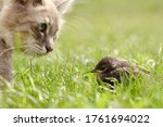 The Cat Hunts A Bird In The...