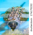 Small photo of An Alligator Snapping Turtle pops up its head in a conservation holding pen