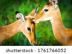 Impala antelope nature scene....