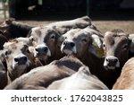 Industrial livestock. calves in ...