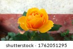 Beautiful Yellow Rose Closeup...