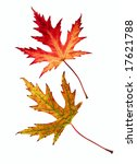two autumn leaves isolated on... | Shutterstock . vector #17621788