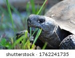 Gopher Tortoise With A Mouthful ...