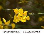 Yellow Flowers Of Spartium...