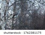 Great Grey Owl  Strix Nebulosa  ...