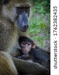 African Baboon Female With Her...