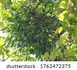 European Mistletoe Growing In...