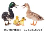 Family Ducks In Front Of White...