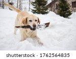 Beautiful Dog White Labrador...