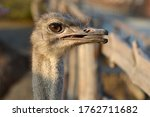 An Ostrich On An Open Beak...