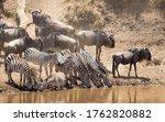Small Herd Of Zebra Standing A...