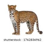 Portrait Of Leopard  Panthera...