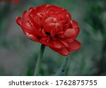 One Red Tulip Flower On Green...