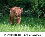 Dogue De Bordeaux On Grass In...