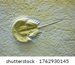Fossil Of A Horseshoe Crab ...