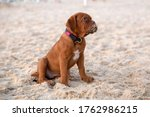 Cute Puppy Of Dogue De...