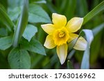 Narcissus Is A Genus Of...