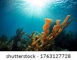 Coral Acropora Palmata With Sun ...