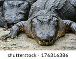 Small photo of Alligators