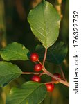 Small photo of alder buckthorn - Frangula alnus