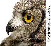 Spotted Eagle Owl   Bubo Bubo ...