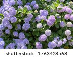 Colorful Hydrangeas Blooming In ...