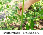 Close up of woman hand pinch off excessive shoot sucker that grow on tomato plant stem in greenhouse, so tomato plant gets more nutrition from soil to grow tomatoes.