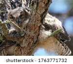 A Baby Great Horned Owl Looks...