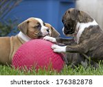 Stock photo several boxer puppies playing with a big red rubber ball in green grass 176382878