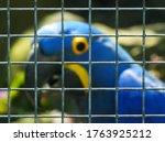 Hyacinth Macaw Behind Bars. Du...