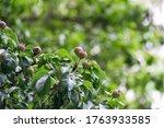 Little Unripe Pears Close Up O...