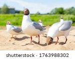 Black Headed Gull  River Gull ...