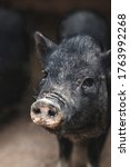 Black Pig With Dirty Snout...