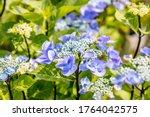 Hydrangea Macrophylla. This...