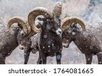 Three Rams With Big Horns In...