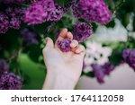 Lilac Blossom  Purple Flowers ...