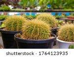 Cactus Echinocactus Grusonii ...