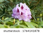 Rhododendron Catawbiense  In...