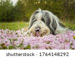 Bearded Collie Is Lying In Pin...