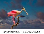 Roseate Spoonbill Perched On...